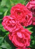 猩红色玫瑰生长在公园特写镜头的罗莎odorata几朵花  库存图片