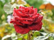猩红色玫瑰 免版税库存照片