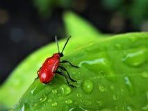 猩红色百合叶子甲虫 免版税库存图片