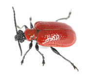 猩红色百合甲虫的宏观照片, lilioceris, lilii隔绝在白色背景 库存图片