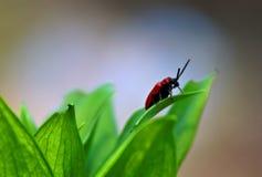 猩红色百合甲虫观察他的庭院环境 免版税图库摄影