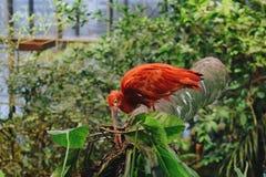 猩红色红色朱鹭 免版税库存图片
