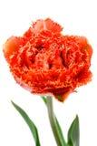 猩红色被装饰的双重牡丹郁金香 库存照片