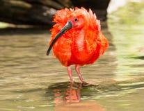 猩红色趟过通过水的朱鹭 免版税库存图片