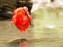 猩红色趟过通过水的朱鹭 免版税库存照片