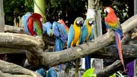 猩红色金刚鹦鹉和蓝色和金金刚鹦鹉 免版税库存图片
