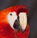 猩红色金刚鹦鹉的纵向 免版税库存照片