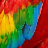 猩红色金刚鹦鹉羽毛 免版税图库摄影