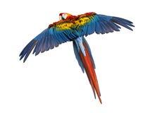 猩红色金刚鹦鹉飞行(4岁),被隔绝 库存照片