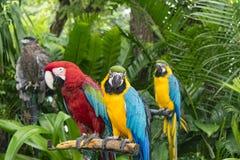 猩红色金刚鹦鹉鹦鹉和青和黄色金刚鹦鹉& x28; Ara ararauna& x29; 免版税图库摄影