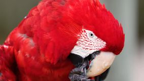 猩红色金刚鹦鹉鹦鹉鸟 异乎寻常,绿色 免版税库存图片