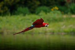 猩红色金刚鹦鹉, Ara澳门,在森林河上的飞行 哥斯达黎加 野生生物场面,热带自然 在森林鹦鹉fli的红色鸟 免版税库存图片