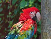 猩红色金刚鹦鹉 免版税库存图片