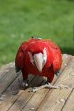 猩红色金刚鹦鹉 库存照片