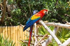 猩红色金刚鹦鹉 免版税图库摄影