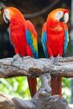 猩红色金刚鹦鹉 库存图片