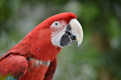猩红色金刚鹦鹉 图库摄影
