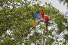 猩红色金刚鹦鹉- Ara澳门 免版税图库摄影