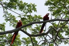 猩红色金刚鹦鹉- Ara澳门 库存照片