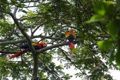 猩红色金刚鹦鹉- Ara澳门 库存图片