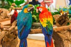 猩红色金刚鹦鹉/BlueAndGold金刚鹦鹉 库存图片
