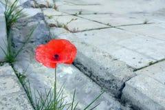 猩红色鸦片花通过混凝土板发芽了在天沟 免版税库存图片