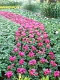 猩红色贤哲或Salvia splendens卖前Roem 免版税库存图片