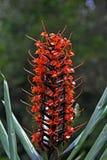 猩红色gingerlily,一朵红色和豪华的花 免版税库存图片