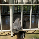 黑猪交配动物者 免版税库存照片