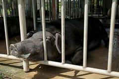 黑猪交配动物者 图库摄影
