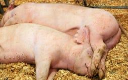 猪休眠二 免版税库存照片