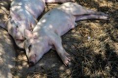 猪休眠二 免版税图库摄影