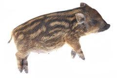 猪休眠小 免版税图库摄影