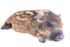 猪休眠小 免版税库存图片