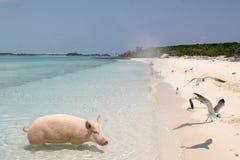猪假期 图库摄影
