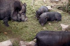 猪和小猪 免版税库存照片