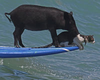 猪和猫咪 免版税库存照片