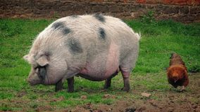 猪和鸡在农场 股票录像