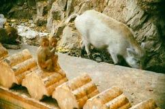 猪和猴子在indiya 免版税库存照片