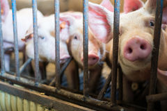 猪圈 免版税库存照片
