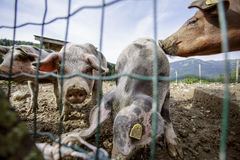 猪圈 免版税图库摄影