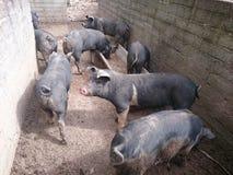 猪圈 免版税库存图片