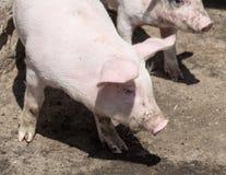 猪在一个晴朗的夏日 库存照片