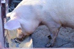 猪在农场,吃 免版税库存图片