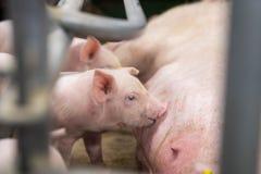 猪在农场 免版税库存图片