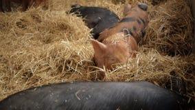 猪在干草在并且开掘在它的口鼻部 股票录像