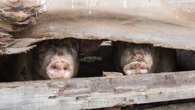 猪在木猪圈 免版税图库摄影