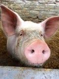 猪在猪圈面对 图库摄影