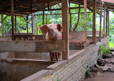 猪在猪圈 免版税库存照片
