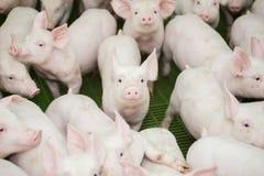 养猪场 小的小猪 养猪是上升和育种家养的猪 库存照片